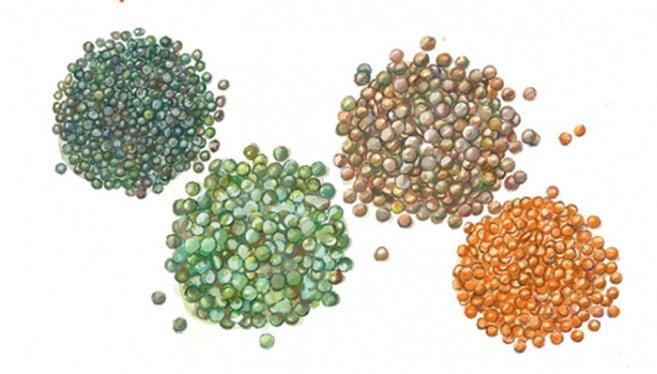 4 varieties of lentils