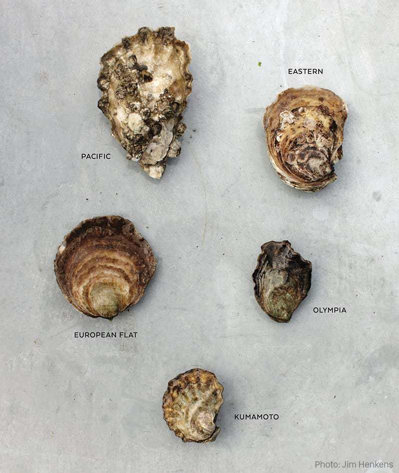 pacific oyster varieties