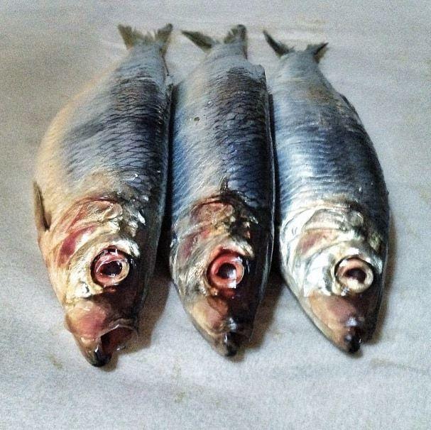 herring from san francisco bay