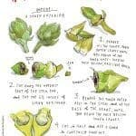 artichoke preparation illustration