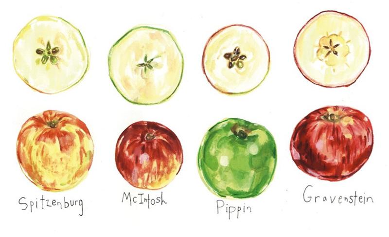 spitzenberg mcintosh pippin gravenstein apples
