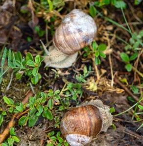 garden snails for escargots